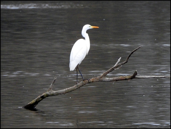 great white egret 030119