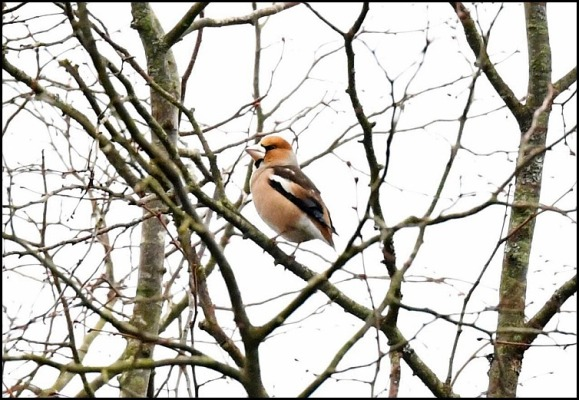 hawfinch 150119
