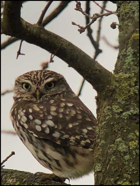 little owl 120119