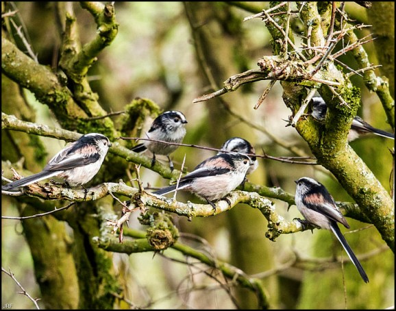 long-tailed tits 150119
