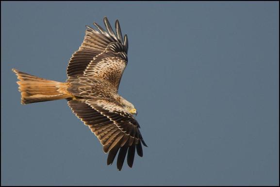 red kite 230119