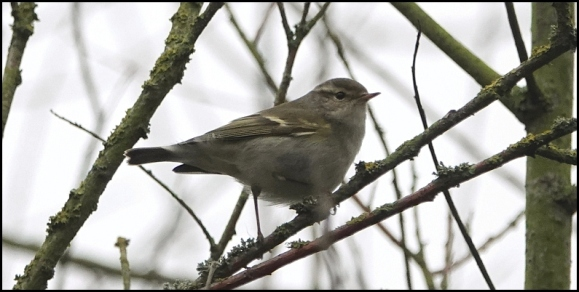 yellow-browed warbler 120119