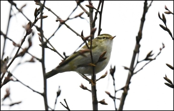 yellow-browed warbler 210119 1