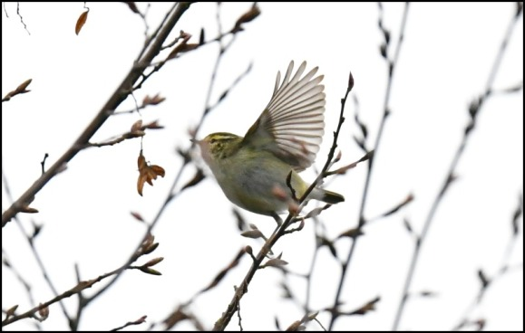 yellow-browed warbler 210119 2