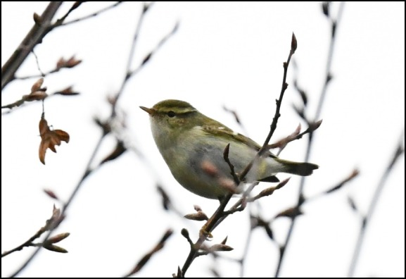 yellow-browed warbler 210119 3