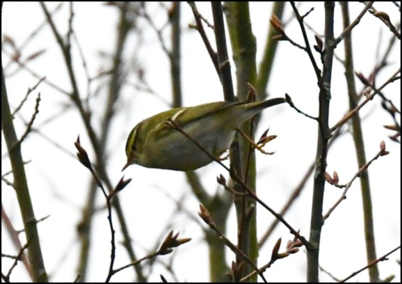 yellow-browed warbler 210119 4