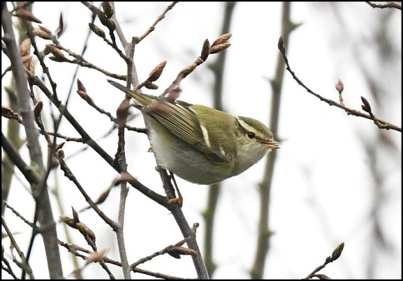 yellow-browed warbler 240119 1