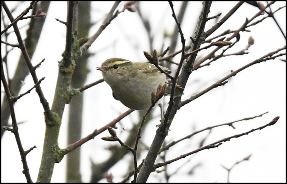 yellow-browed warbler 240119 2