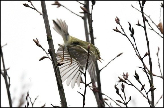 yellow-browed warbler 240119 3