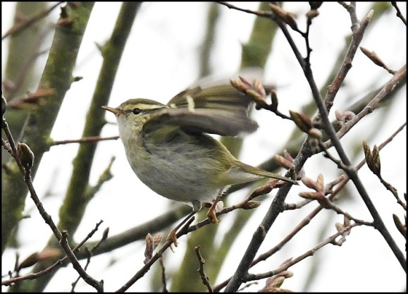 yellow-browed warbler 240119 4