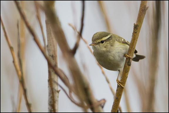 yellow-browed warbler 250119 1