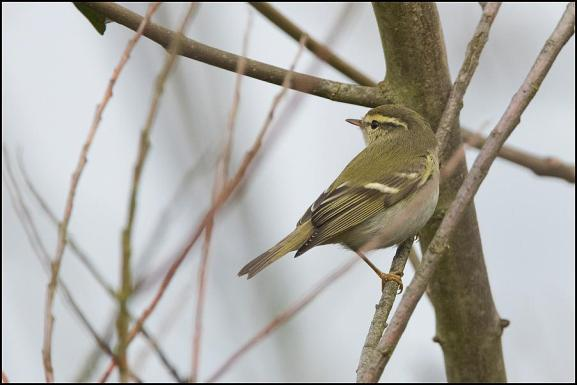 yellow-browed warbler 250119 2