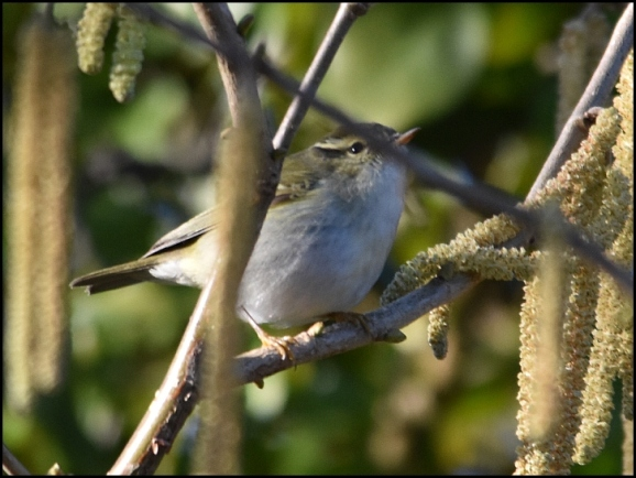 yellow-browed warbler 280119