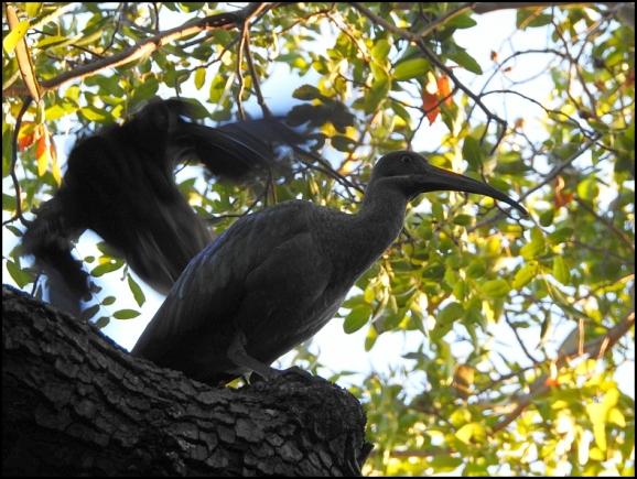 zim - hadeda ibis