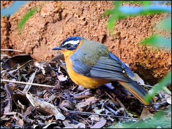 zim - white-browed robin chat