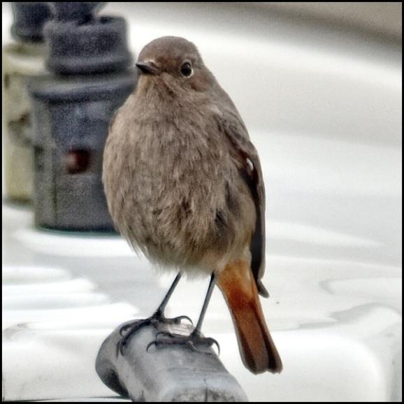 Black Redstart 180219