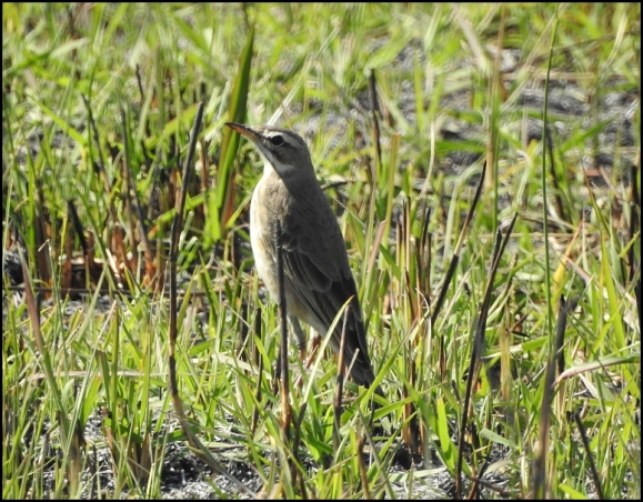 Bot - African Pipit