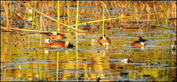Bot - African Pygmy Geese