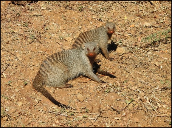 Bot - Banded Mongoose