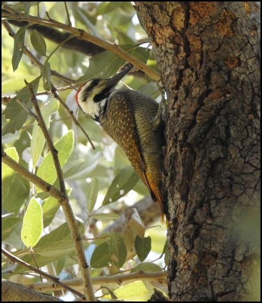 Bot - Bearded Woodpecker