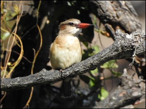 Bot - Brown-hooded Kingfisher