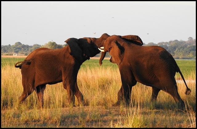 Bot - Elephants