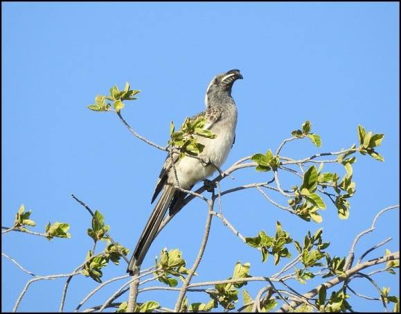 Bot - Grey Hornbill
