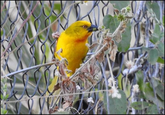 Bot - Holub's Golden Weaver