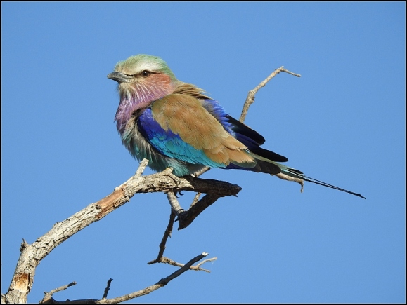 Bot - Lilac-breasted Roller