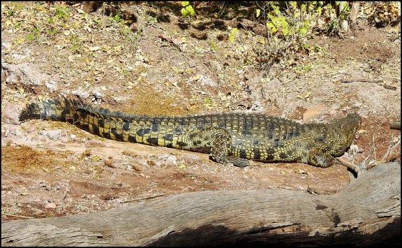 Bot - Nile Crocodile