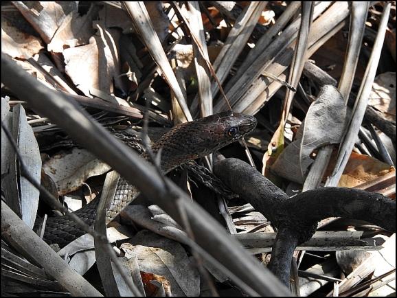 Bot - Olive Grass Snake