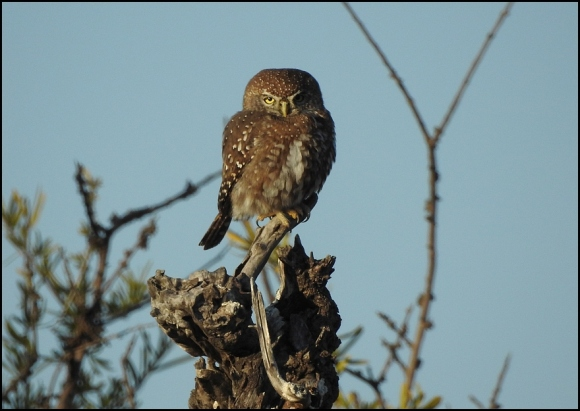 Bot - Pearl-breasted Owlet