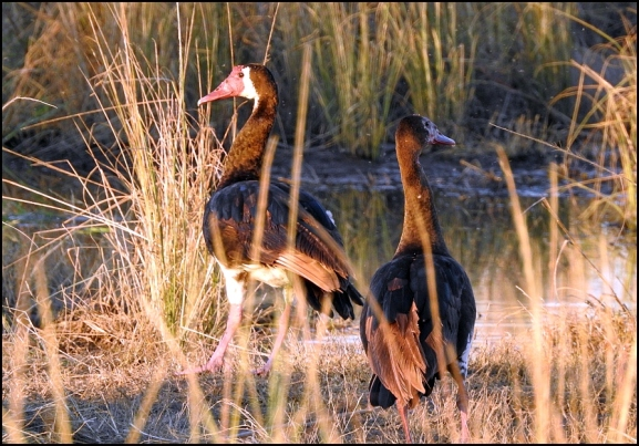 Bot - Spur-winged Geese
