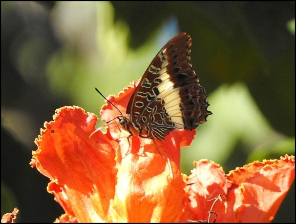 Bot - White-barred Emperor