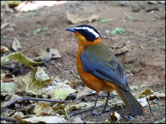 Bot - White-browed Robin Chat