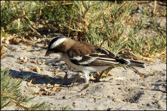 Bot - White-browed Sparrow Weaver