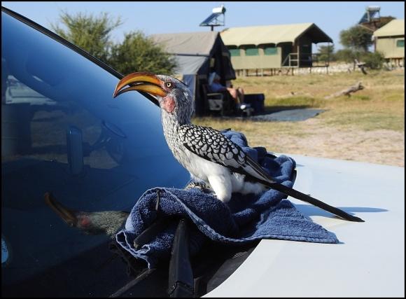 Bot - Yellow-billed Hornbill