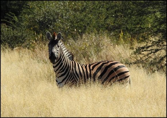 Bot - Zebra