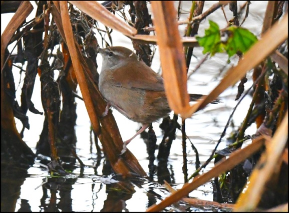 Cetti's Warbler 170219