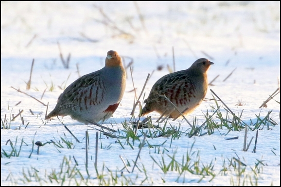 Grey Partridges 020219