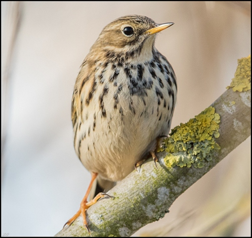 Meadow Pipit 030219