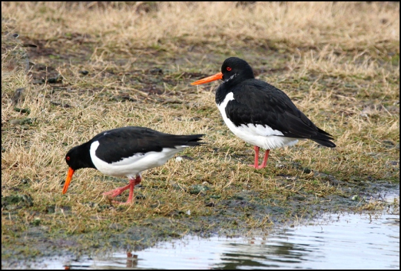 Oystercatchers 120219