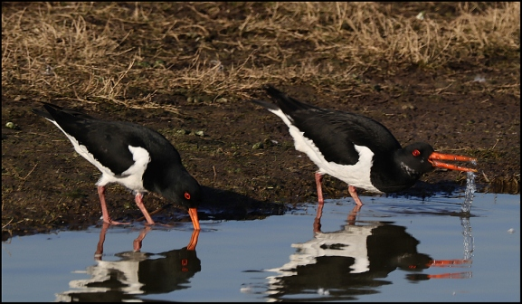 Oystercatchers 140219
