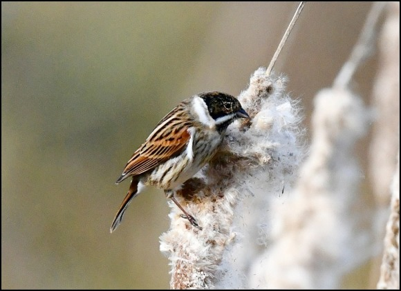 Reed Bunting 130219