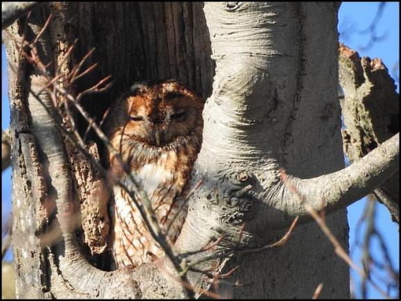 Tawny Owl 140219