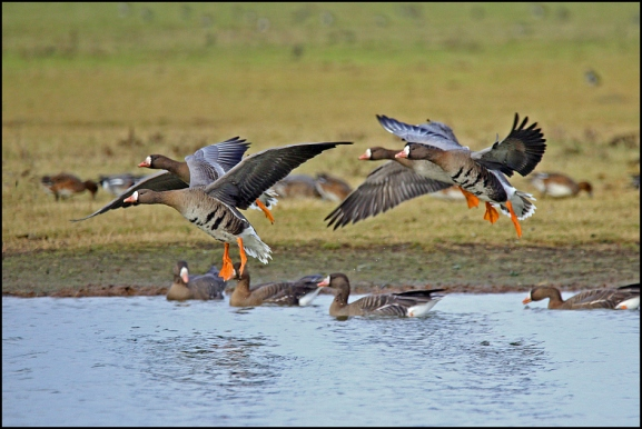 White-fronted Geese 060219