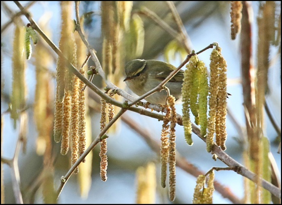 Yellow-browed Warbler 040219