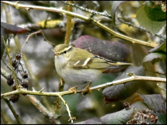 Yellow-browed Warbler 110219