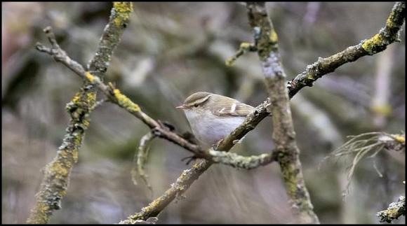 Yellow-browed Warbler 120219