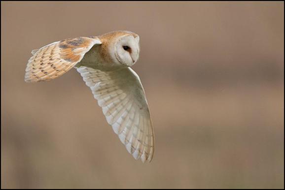 Barn Owl 180319